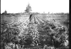 Man with a dog digging in a Central Oregon potato field.