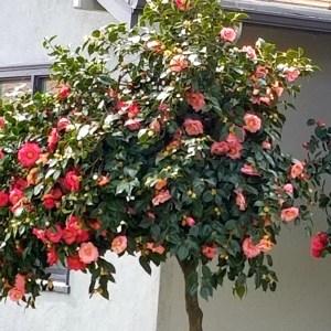 Camellia Plant - A tall camellia tree