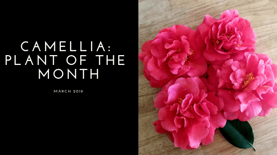 Camellia Plant of the Month - March 2019
