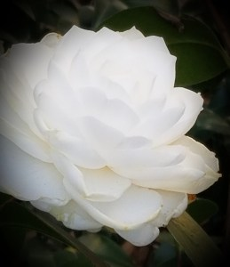 Camellia plant - White Camellia flower