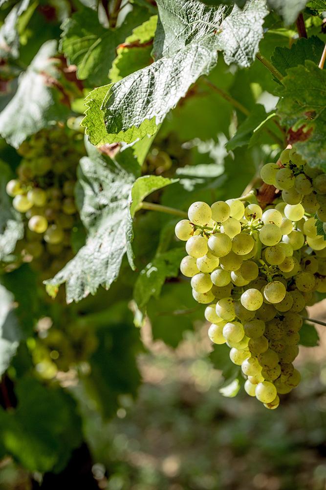 Vendanges 2015 Puligny Montrachet Domaine de la Vougeraie - Photo de Bénédicte Manière - Photographie de vin et domaines