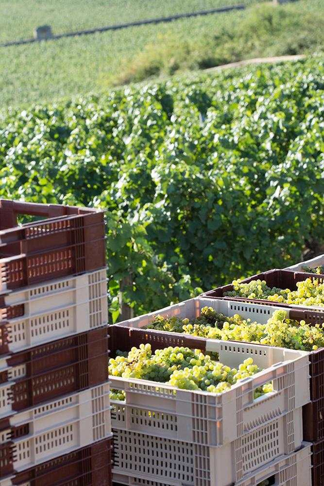 Vendanges 2015 Raisins Puligny Montrachet Domaine de la Vougeraie - Photo de Bénédicte Manière - Photographie de vin et domaines