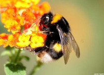 Image result for bumblebee on flower