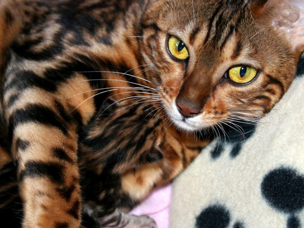 Bengal Katze Günstig Abzugeben Wann Sie Misstrauisch