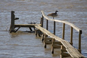 Kanadagås och fiskmåsar på vår brygga i förrgår, rena fågelberget...