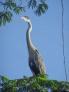 Jungle heron