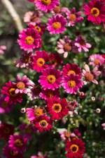 Pink flowers in the Secret Garden