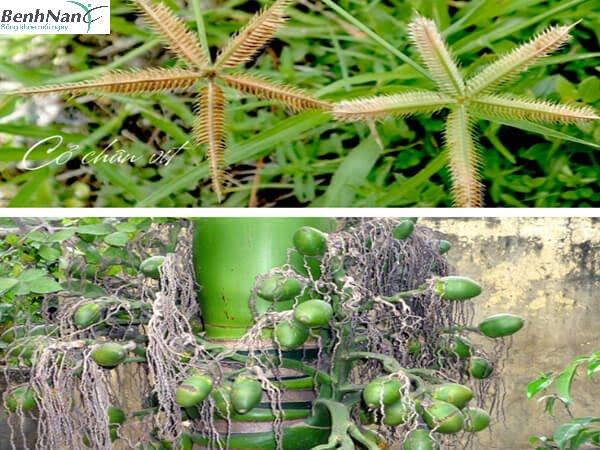 Bài thuốc dùng cỏ chân vịt chữa tiểu đường