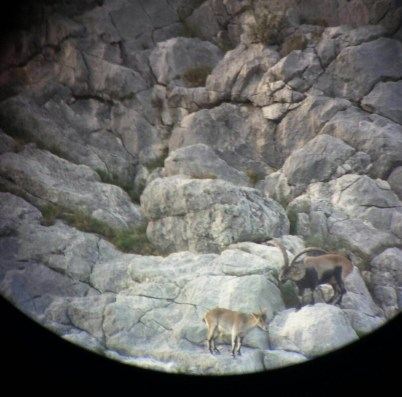 Spanish Ibex rut season