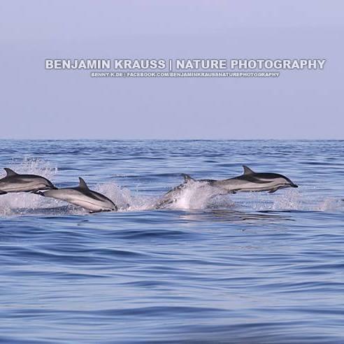 Golfinho Riscado - Striped Dolphin (Stenella coeruleoalba), Blau-Weißer gestreifter Delfin - Pico - Azoren - Portugal