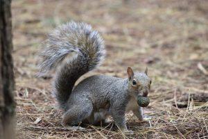Ardilla gris con una piña de pino pequeña en la boca.