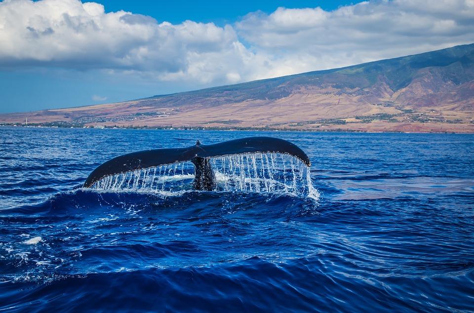 Cola de ballena que se sumerge en el mar azul.