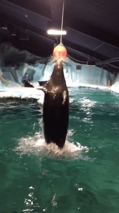 They trained the seal to jump out of the water and do a bunch of other really cool tricks.