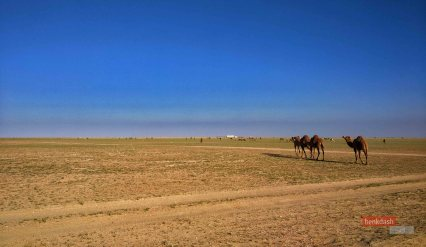 Camels 2