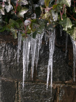 Icicles on the Ivy