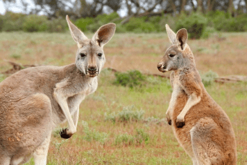 free-range writing about free-range kangaroos