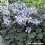 Hosta 'Blue Mouse Ears' Credit Walters Gardens