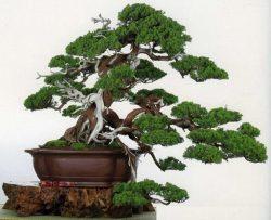 Sejarah Dan Asal-Usul Bonsai Lengkap