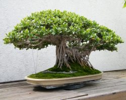 Tutorial Membuat Bonsai Beringin Super