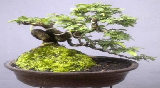 Pestisida Pembersihan & Penyakit Pada Tanaman Bonsai