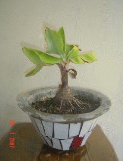 Wow! Ternyata Pohon Pisang Bisa Jadi Bonsai Lo, Ini Dia Caranya