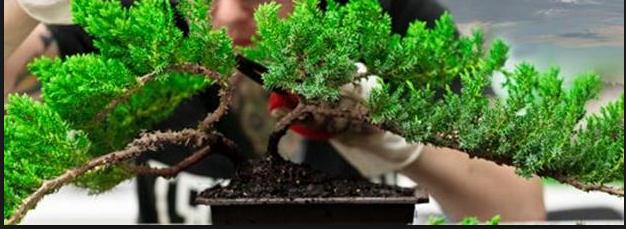 Bonsai Berdaun Kecil Inilah Cara Membuatnya
