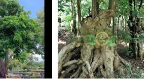 Inilah Ciri Pohon Pule Untuk Jadi Bonsai Yang Exsotis
