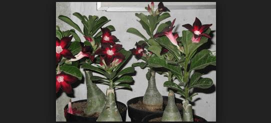 Cara Menanam Bonsai Kamboja (Adenium) Dengan Cara Termudah