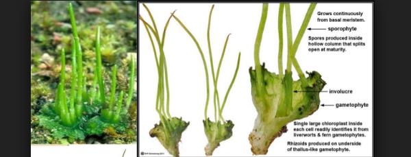 Berbagai Jenis Lumut (Bryophyta) Penghias Bonsai