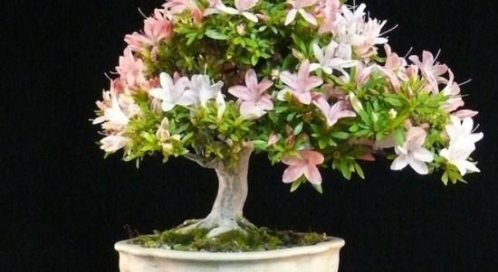 Bonsai Satsuki Azalea (Rhododendron): Cara Perawatan Untuk Pohon Azalea Bonsai