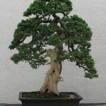 Cara Membuat Kayu Mati Pada Bonsai Jin, Shari dan Uro Bagi Pemula