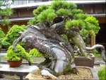 Cara Dasar Menumbuhkan Pohon Bonsai Super Mudah Untuk Pemula