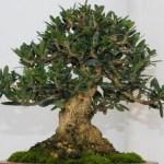 Bonsai Olive (Olea europaea): Cara Perawatan Pohon Olive Bonsai Paling Mudah