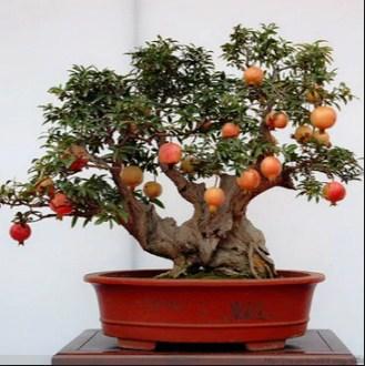Bonsai Pomegranate: Cara Termudah Merawat Bonsai Pomegranate Serta Menjaga Dari Kematian