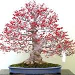 Bonsai Winterberry Jepang: Cara Mudah Merawa & Mengenal Bonsai Winterberry Jepang