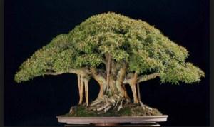 Jenis Pohon Bonsai Untuk Dapat Dijadikan Bonsai Yang Indah Bagi Pemula