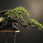 Aturan Bonsai Yang Harus Kita Ketahui Dalam Dunia Bonsai