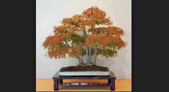 Bonsai Pohon Maple Eksotis Untuk Di Pandang & Referensi