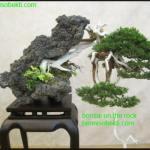 Cara Membuat Bonsai On The Rock Secara Mandiri