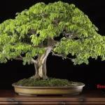 Bonsai Pohon Hujan Brasil: Cara Merawatan Bonsai Pohon Hujan Brazil