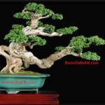 Bonsai: Beberapa Cara Untuk Bonsai Yang Baik