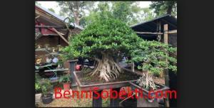 Tanaman Bonsai: Keuntungan Jual Beli Tanaman Bonsai Wajib Diketahui