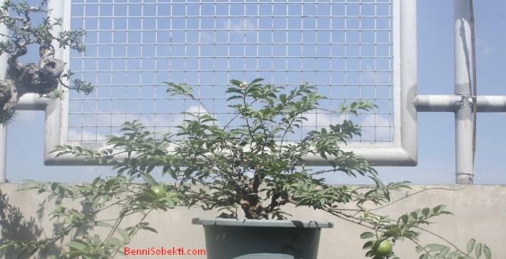 Guava Tree Bonsai | Cara Perawatan Bonsai Pohon Jambu