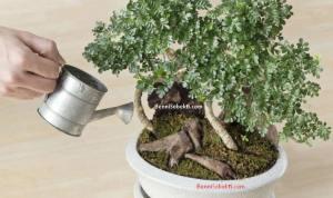 Cara Menjaga Bonsai Saat Panas & Suhu Tinggi