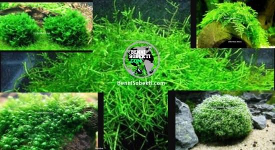 Jenis Moss Terbaik Aquascape Yang Direkomendasikan