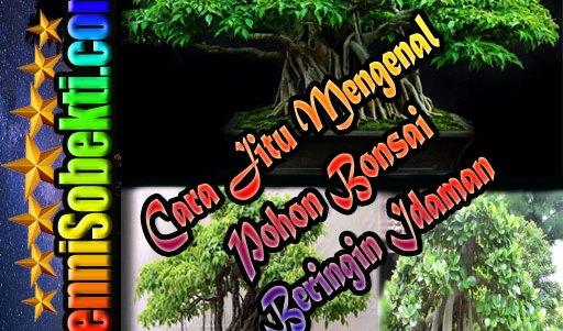 Cara Jitu Mengenal Pohon Bonsai Beringin Idaman