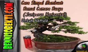 Cara Simpel Membuat Bonsai Cemara Buaya (Juniperus Horizontalis) Untuk Pemula