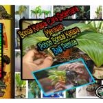 Bonsai Kelapa: Cara Sederhana Merawat Pohon Bonsai Kelapa Bagi Pemula
