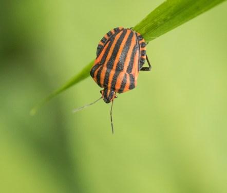 Stripy Shiledbug