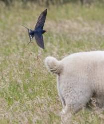 Swallow and photobombing lamb